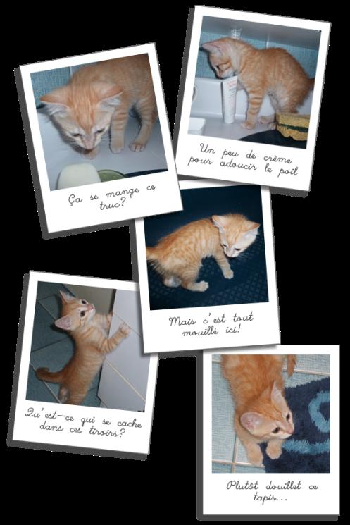 Guanaco, chaton adoptable en région parisienne avec l'Association SOLANA