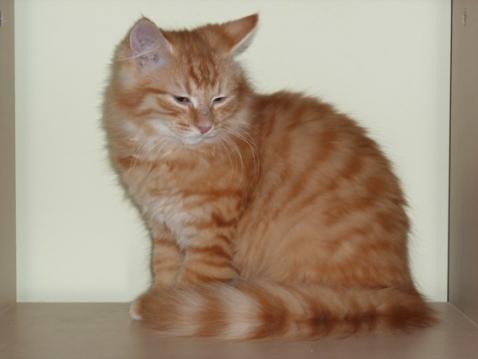 Doubitchou, Doubitchou, chaton roux à poils longs à adopter en région parisienne avec l'Association Solana