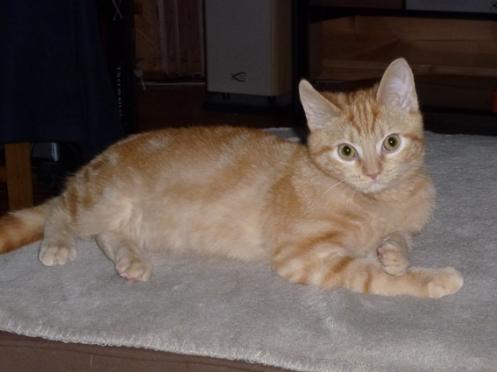 Mac Fly, chaton roux adopté en décembre 2011 avec l'Association Solana