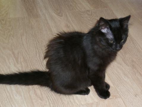 Klug, chaton noir à poils mi-long, à adopter en région parisienne avec l'Association Solana
